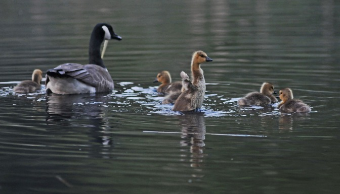goslings 051912