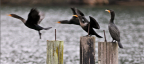 Cormorants, reflections of Home, drive to Tacoma