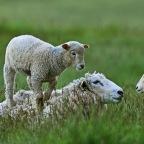 SNAPSHOT: I've only got eyes for ewe