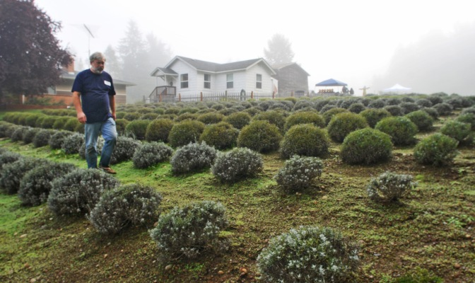 Bill Ketts checks his farm before the first guests arrive at Blue Willow Lavender Farm.