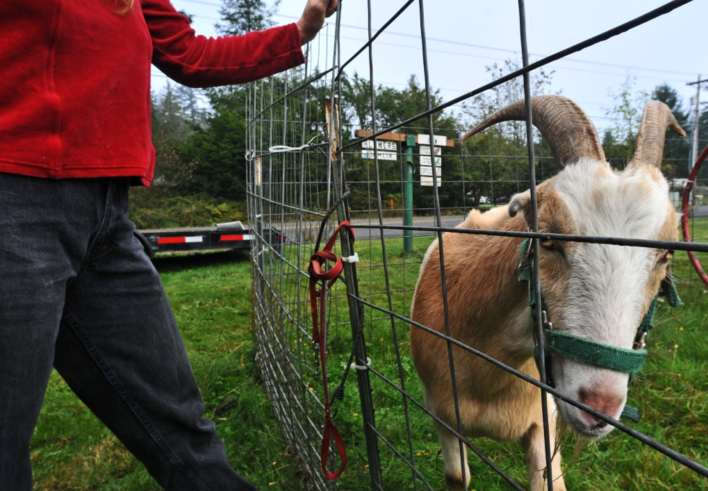 "Linda Brewer shows the farm goat that does ""stupid goat tricks"" at Bea's Flowers on Creviston Road."