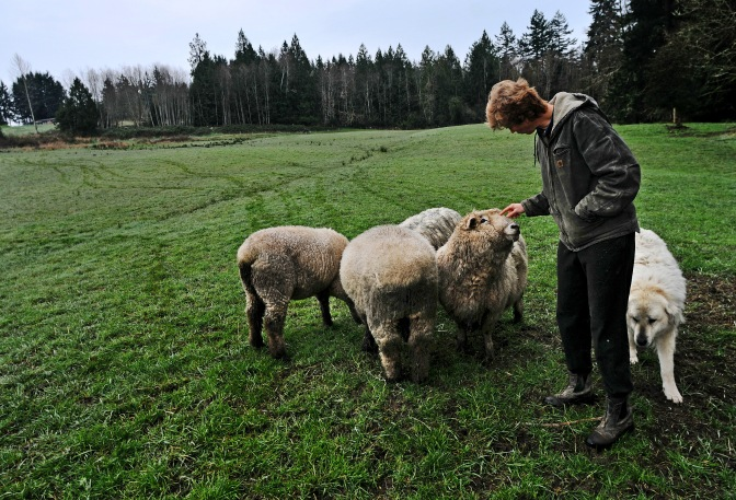 Janice Bryant of Kaukiki Farm checks on her rams at her 72-acre farm.