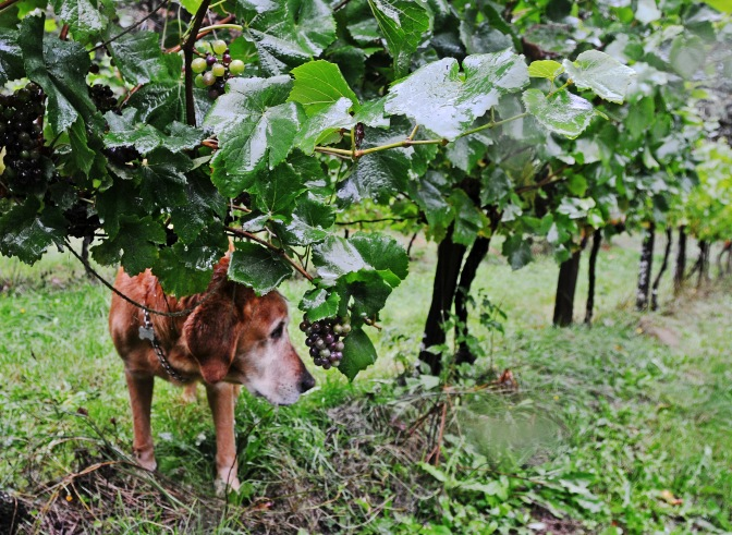 Champee, the farm dog, walks between rows of grapes at Trillium Creek Winery.