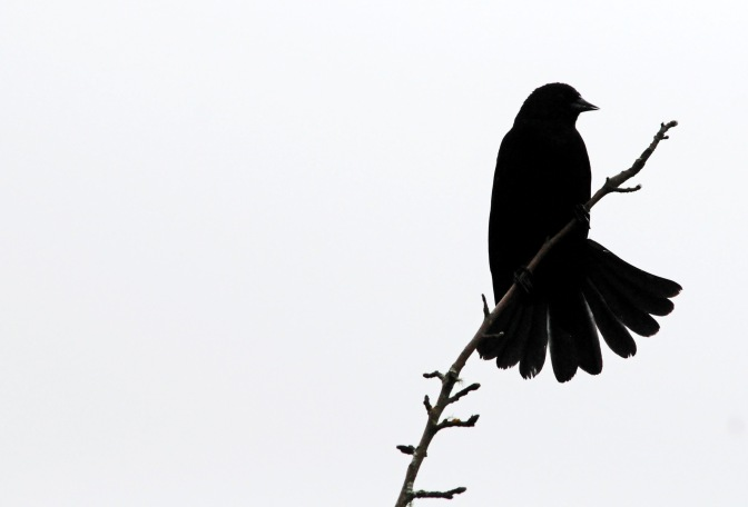 A red-winged blackbird finds a branch for a roost.