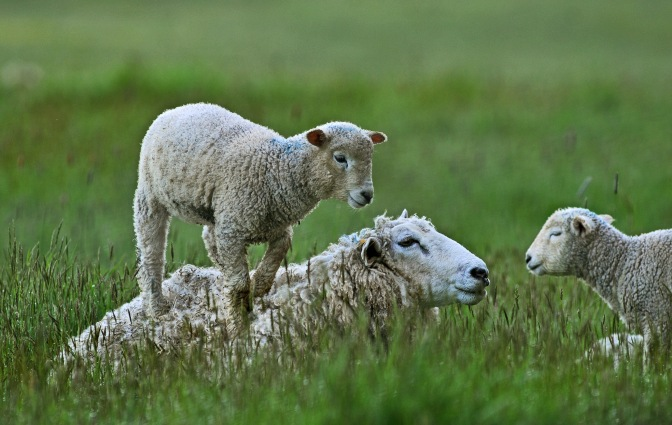Sheep mate in the fall so the lamb arrive in the Spring, according to Janice Bryant.