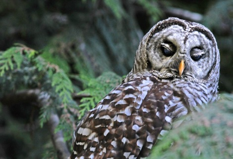 barred owl#1 070814