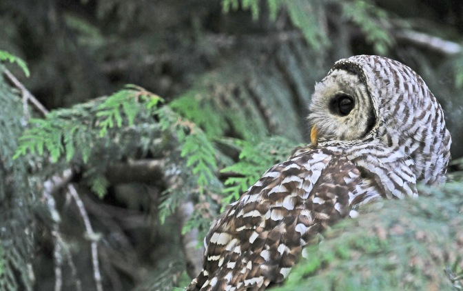 barred owl#3 070814