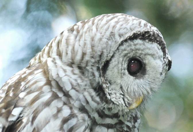 barred owl#4 070814