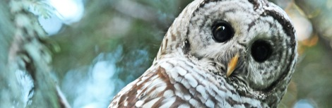 barred owl#5cover 070814