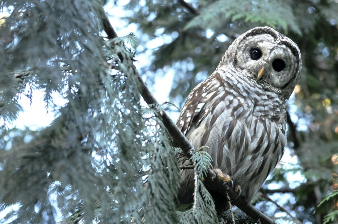barred owl#6 070814