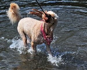 Maddee discovered the joy of fetching sticks in the lazy current of the river.
