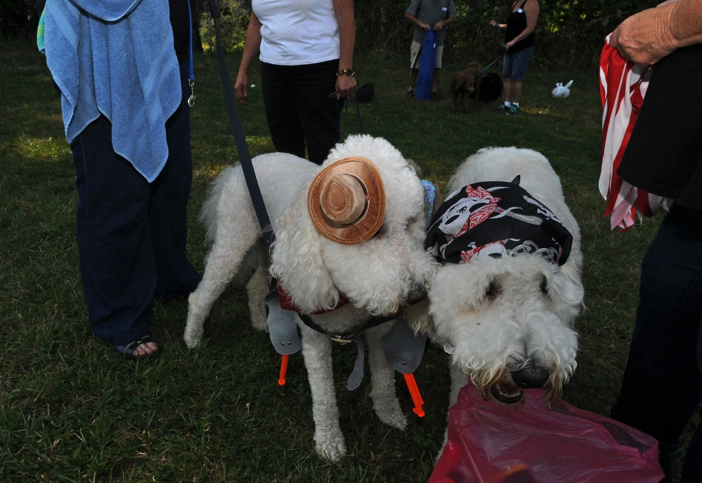 Percy, left, and Emmett patiently allow their owner Sue Popp to put on their costumes. Percy dressed as a gunslinger and Emmett a pirate.