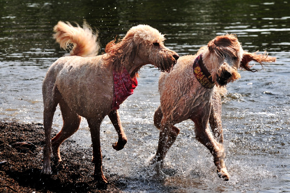 The dogs loved the cool water of the Snoqualmie River.