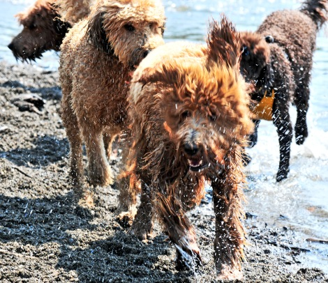 More than 50 doodles of every kind ran and rolled around 10 acres of freshly mowed pasture on a bank of the Snoqualmie River Sunday for the 9th edition of Doodle Romp at Camp Charlie's dog park near Duvall, Wash..