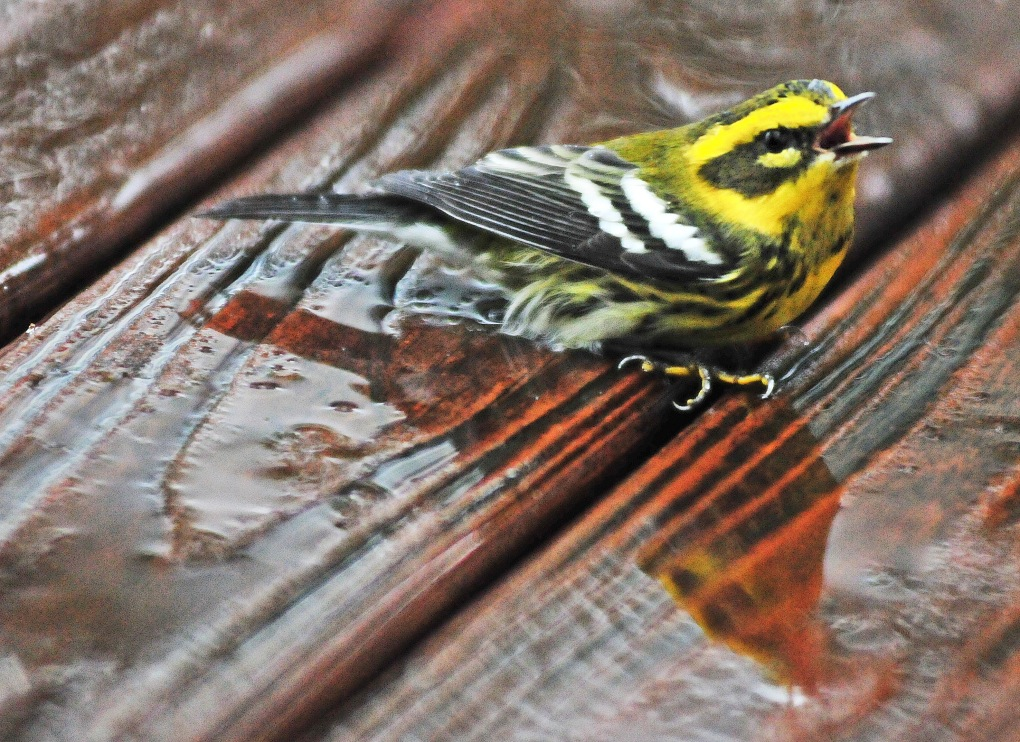 A Townsend's warbler whistled a song on our wet deck.