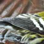 Warbler's Song Whistled on Wet Longbranch Deck