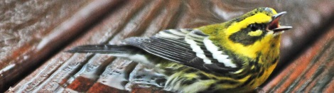 rain warbler cover 091314 #4
