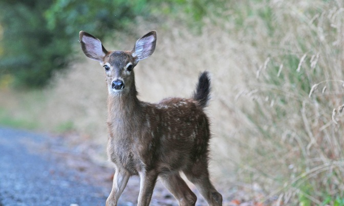 A fawn during one of my drives to Tacoma.