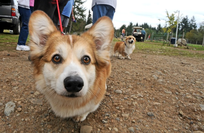 Teddy, a 3-year-old Welsh corgie, and his owner Dorcus Chow, of Seattle, enjoy the sights at PackLeader Farm.