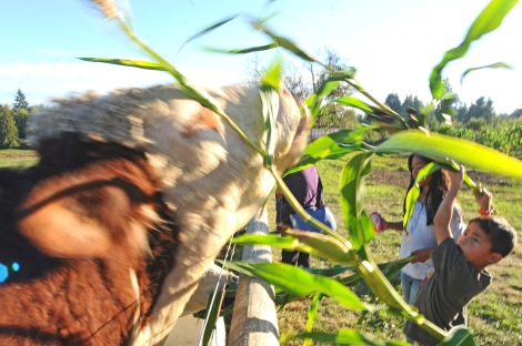 Asher Zammudio, 8, play tug-of-war with cows at Creviston Valley Farm Saturday.