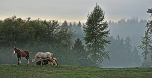 Fog hugs the gentle hills of Kaukiki Farm as horses graze on the front pasture.