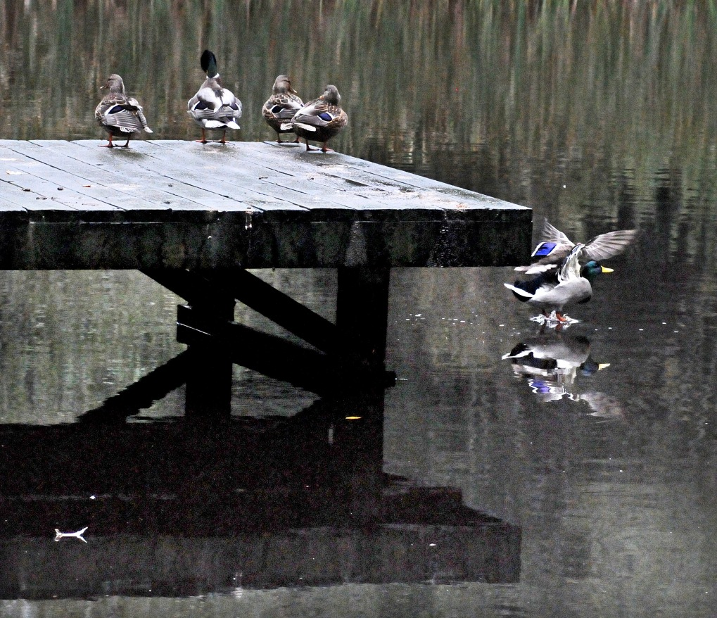 Splashdown! The ducks at my neighbor's pond do not seem to mind the blustery weather.