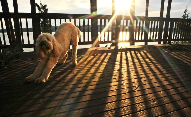 The goofy golden doodle strikes a downward dog yoga pose as a bright sun crawls out behind morning clouds.