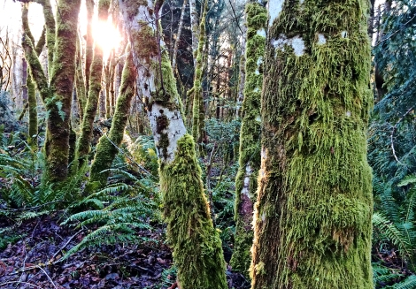 Sunlight streamed between moss-covered alders along our driveway this morning.
