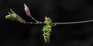 The buds of spring are starting to sprout along our road.