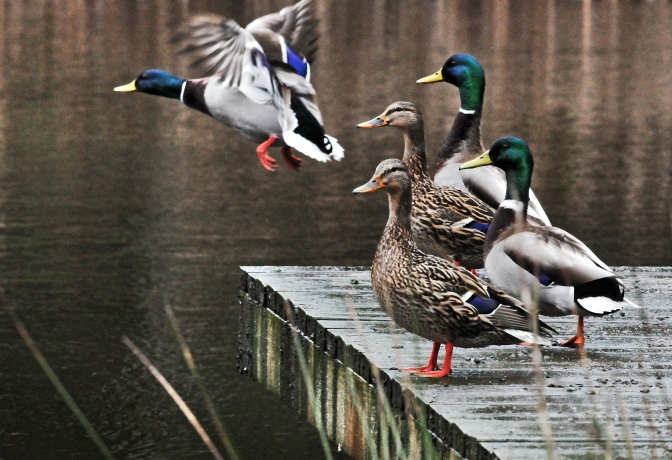 Ducks on our neighbor's pond enjoying the sunshine and intermittent rain Saturday afternoon.