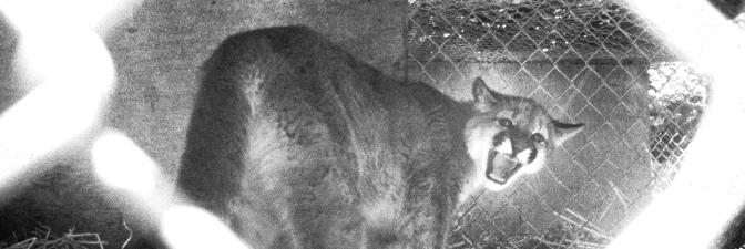 cougar oregon cover