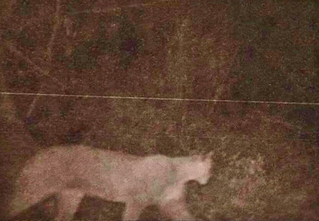 This picture of a cougar was captured by a trail camera in the Rosedale neighborhood of Gig Harbor on Jan. 1.