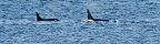 Orcas Pop Up in Longbranch, Key Peninsula