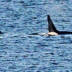Orcas Pop Up in Longbranch, Key Peninsula