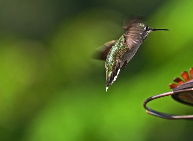 Our morning was full of Anna's hummingbirds flitting in to feast on fresh sweet water.