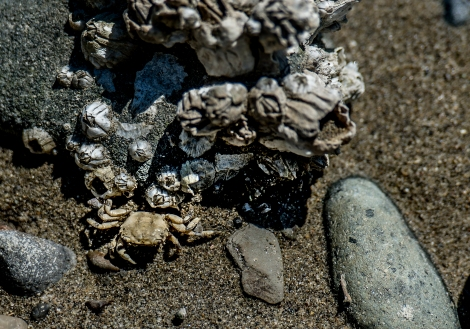 A small crab makes its way around rocks at low tide.