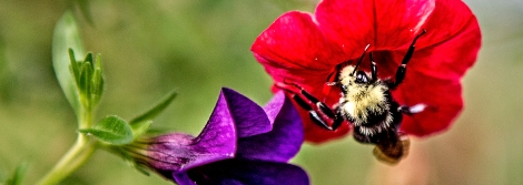 A brownbelted bumblebee makes a stop on a calibrachoa million bells bloom in Longbranch, Washington, Sunday July 12, 2015.