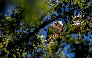 A pair of bald eagles up high on a Douglas fir.