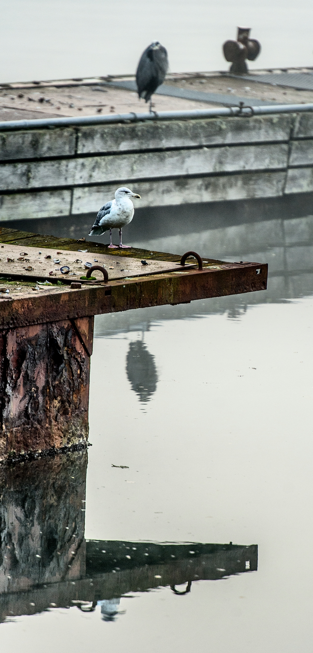 heron seagull 112815
