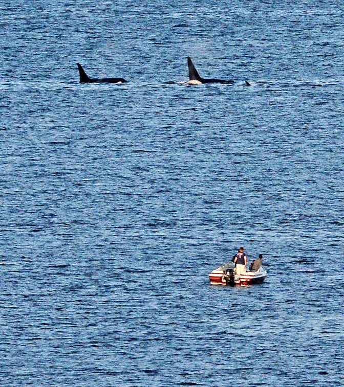 A pod of orcas attracted boaters on Drayton's Passage Saturday April 18, 2015. The orcas played on the passage between the Key Peninsula and Anderson island for half an hour before heading north to McNeil Island.