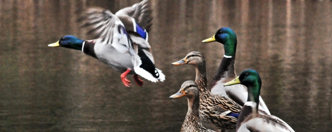Ducks on a rainy day in Longbranch, Washington, Saturday March 21, 2015.
