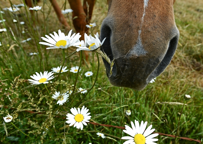 Horses enjoying a dry morning in a pasture along Erickson Road in Longbranch, Washington, Sunday May 31, 2015.