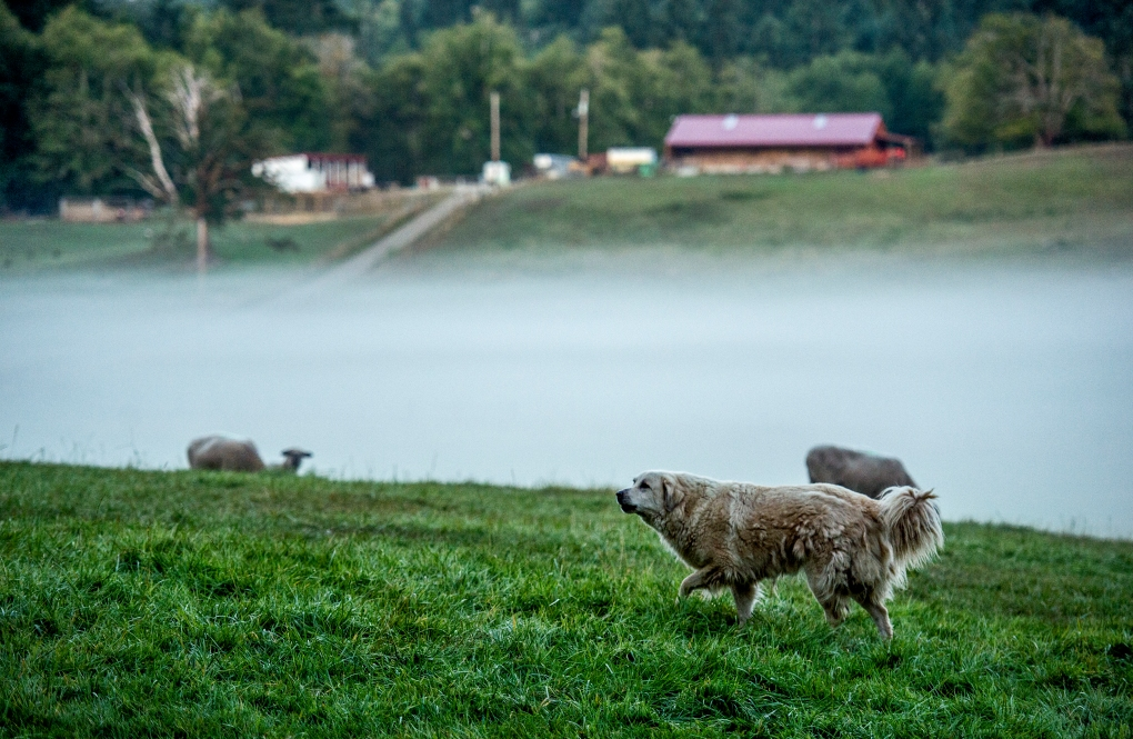 Fog settles on the front pastures of Kaukiki Farm in Longbranch, Washington, Monday Aug. 24, 2015.