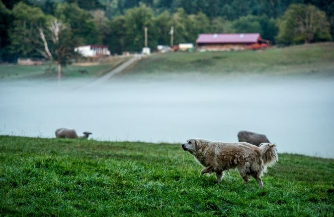 Fog settles on the front pastures of Kaukiki Farm in Longbranch, Washington, Monday Aug. 24, 2015.