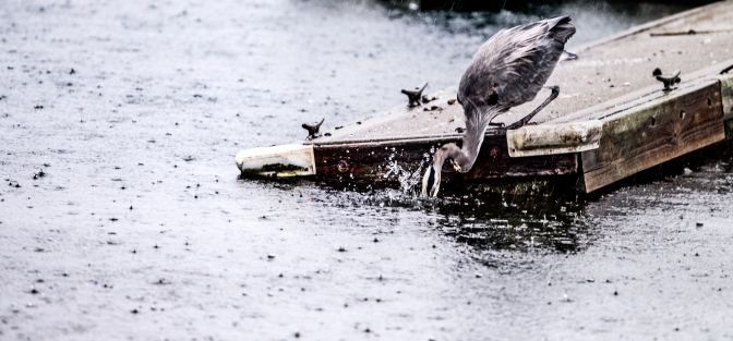A heron dips its head into the water at the Longbranch Marina early Saturday morning Oct. 31, 2015, as wet, blustery weather continue on the Puget Sound.