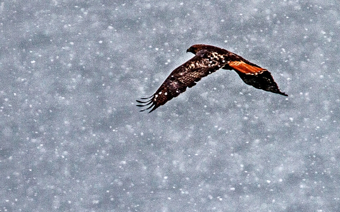 hawk in the snow2